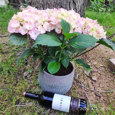 הורטנזיה וורוד עתיק  בכלי + יין תישבי