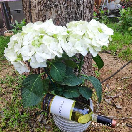 הורטנזיה לבן בקרמיקה + יין תישבי מובחר
